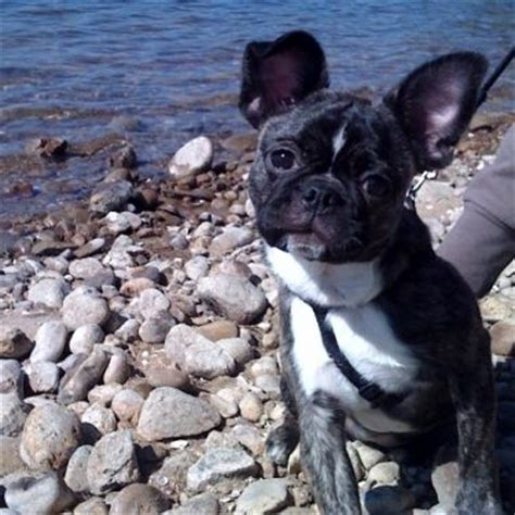pug boston terrier mix price 42 best bulldog mixed images on