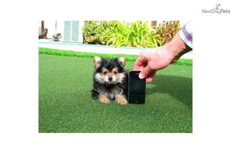 teacup yorkie pomeranian mix teacup yorkie pom hybrid puppy for sale san diego mixed other breeds picture