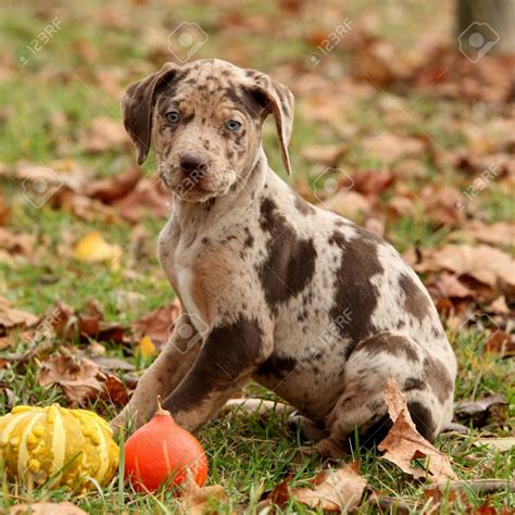 catahoula puppies for sale in florida catahoula puppies puppies puppy