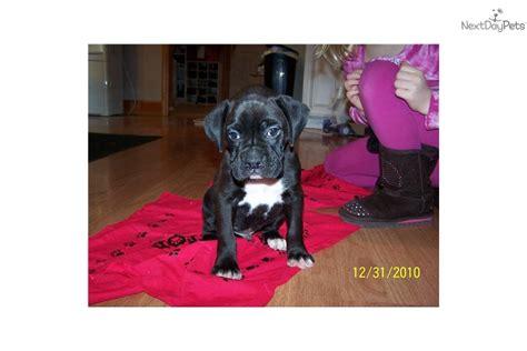 boxer puppies for sale in cincinnati ohio boxer puppy for sale near cincinnati ohio 87f4f887 c731