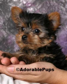 yorkie puppies for sale nh available puppies for sale in nh