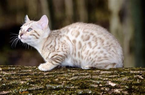 white bengal cat kittens the gallery for gt white bengal cat