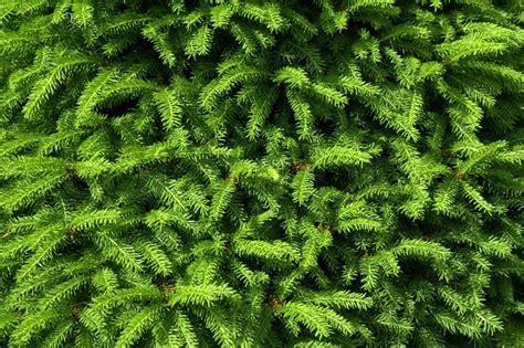 fir green green fir tree branches as background stock photo colourbox