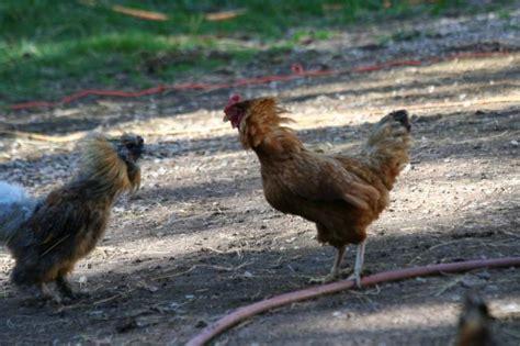 backyard chickens uk backyard chickens uk 28 images backyard chickens uk
