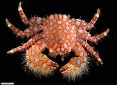 the vire and other crabs brachyura and anomura in captivity books 1000 images about crabs on lobsters crab