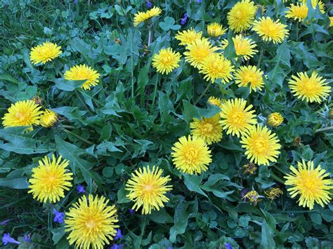 dandelion facts fun facts about dandelions formecology