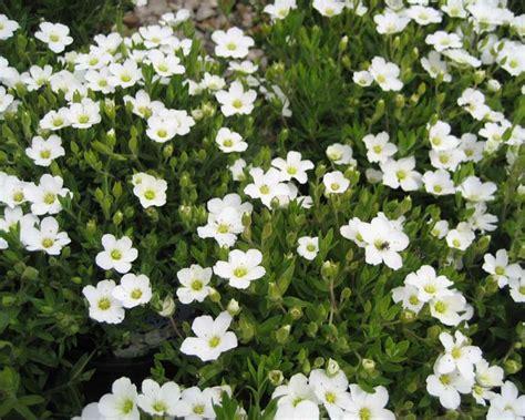 gardensonline arenaria montana