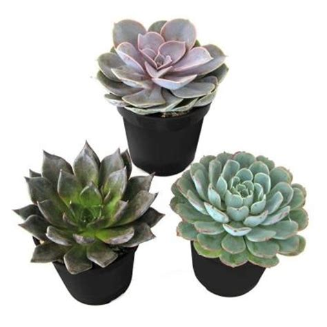 9 cm echeveria plant 3 pack 0881005 the home depot