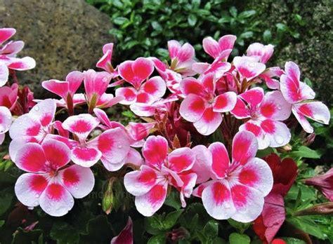 peluang usaha budidaya bunga geranium  analisa usahanya