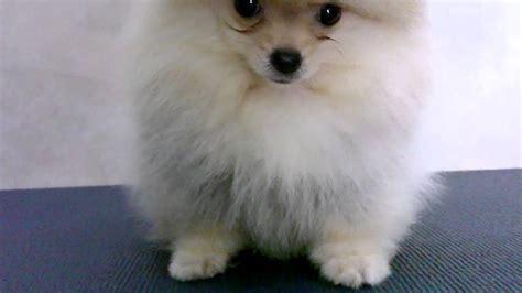 pomeranian 3 months 3 months pomeranian puppy s shape 1 3
