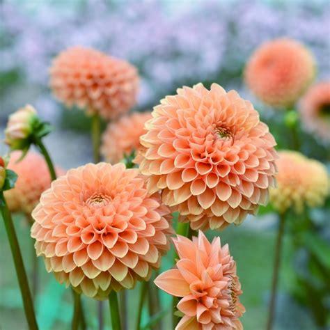 piante da mettere in giardino marzo i bulbi da mettere a dimora per la fioritura estiva