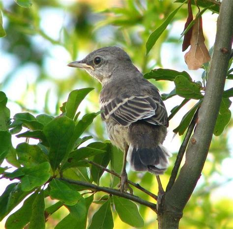 mockingbird fledgling birdies pinterest