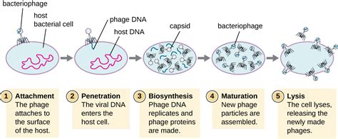 lytic cycle diagram 6 2 the viral cycle biology libretexts