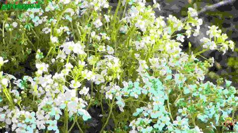 fiori per giardini rocciosi perenni per giardini rocciosi piante perenni piante