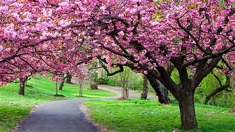 pictures of cherry blossom trees cherry blossom tree care cherry tree pinterest tree