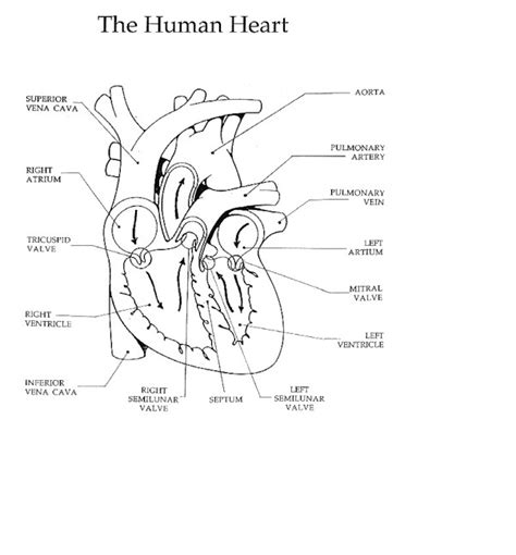 Essay On Pulmonary Circulation by The Circulatory System
