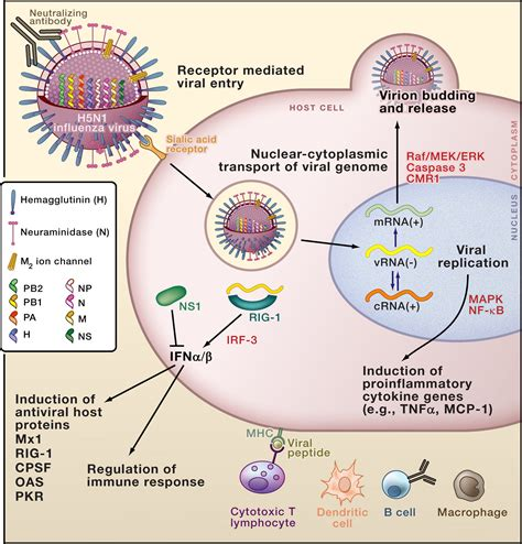 h protein of influenza virus the influenza virus enigma cell