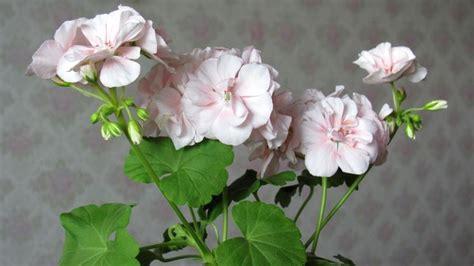 gerani fiori gerani pelargonio perenni gerani perenni