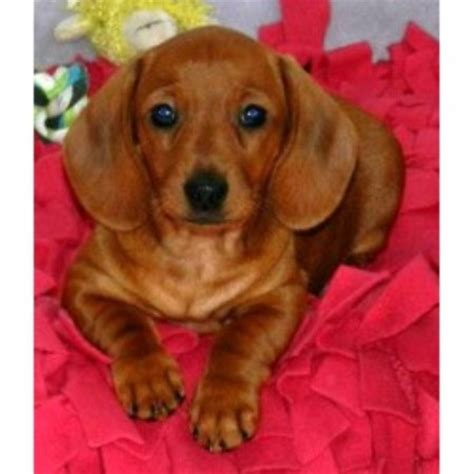free dogs in ct dachshund doxie breeders in connecticut freedoglistings