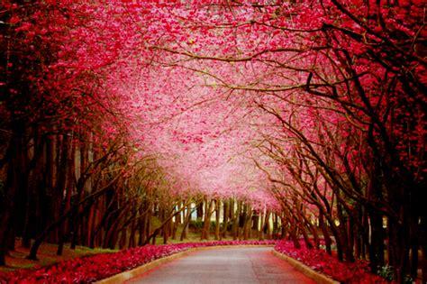 654 cherry tree road cherry blossoms nature trees image 430195 on favim