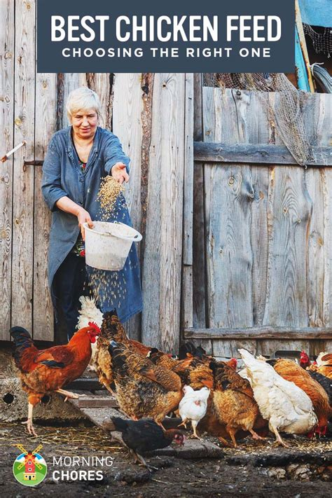 How To Raise Laying Hens In Your Backyard by 7 Best Chicken Feed For Laying Hens Organic And
