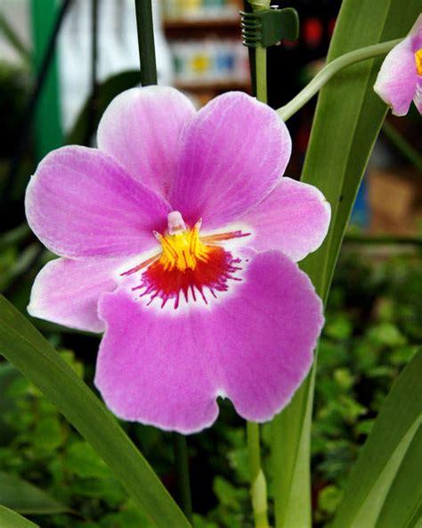 imagenes de flores solitarias miltonia floresyplantas net