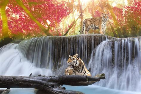 tigers  waterfall wallpaper wall decor