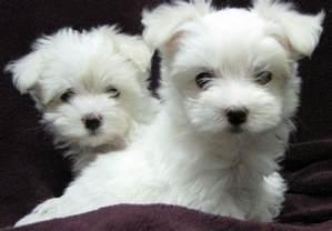 Maltese Puppies Maltese Animal Photo