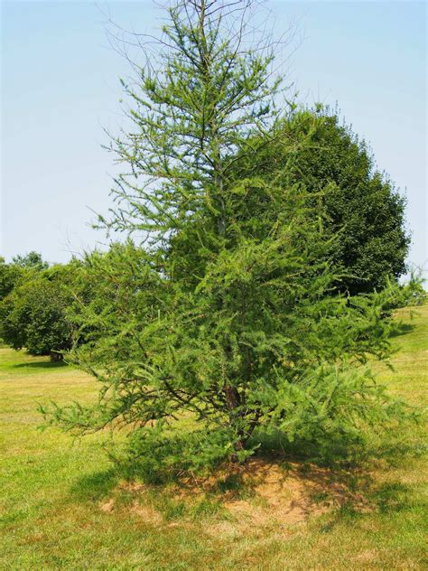 growing tamarack trees information and care for tamarack
