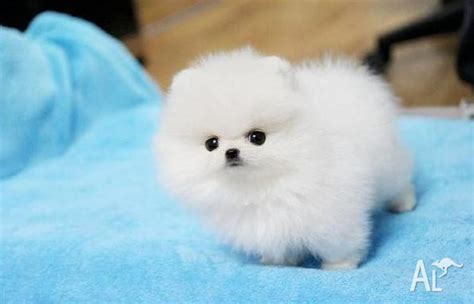 teacup pomeranian breeders ny tiny teacup pomeranian puppies for sale breeds picture