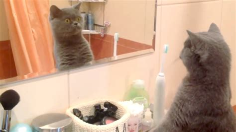 Cat Mirror caesar the cat can t stop admiring himself in the mirror
