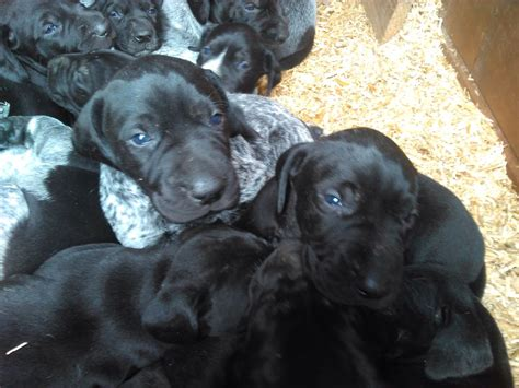 german shorthair puppies for sale german shorthaired puppies for sale walsham norfolk pets4homes