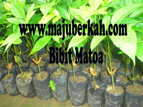 Bibit Matoa bibit matoa bibit tanaman matoa jual bibit tanaman matoa murah