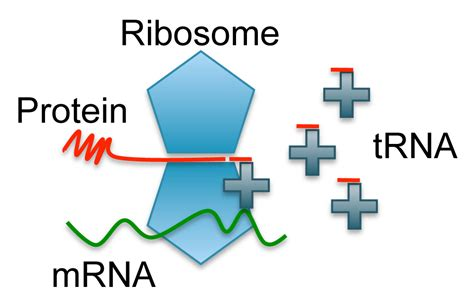 protein synthesis definition chapter 13 rna and protein synthesis answers seotoolnet