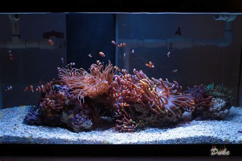 anemone aquarium clownfish and anemone only tank reef central online