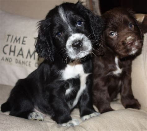 black and white cocker spaniel puppies black and white cocker spaniel puppies
