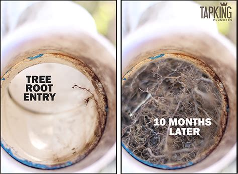 Cing Toilet Chemical Alternatives by Tree Roots Blocked Or Damaged Your Drain Pipes Easy