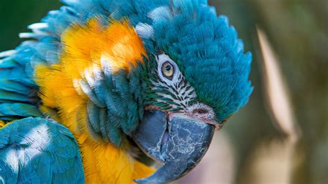 blue  yellow macaw  wallpapers hd wallpapers id