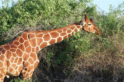 what color is a giraffe nubian giraffe