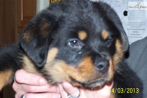 rottweiler puppies for sale in detroit rottweiler puppy for sale near detroit metro michigan 9e4e8024 3031