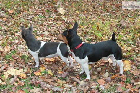 teddy roosevelt terrier puppies for sale teddy roosevelt terrier puppies for sale from reputable breeders