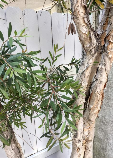 identification name of southern california tree with a