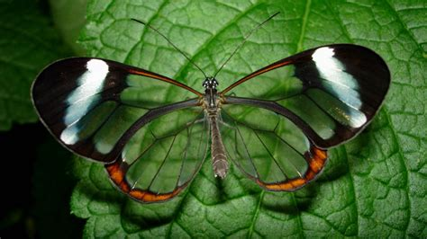 imagenes hermosas sorprendentes 15 stunning photos of the glasswinged butterfly 171 twistedsifter