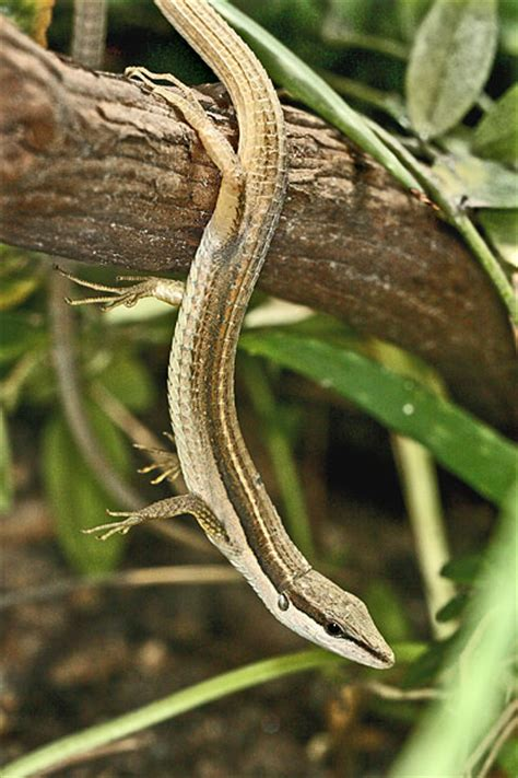 long tailed lizard facts  pictures