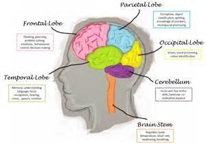 Pics photos parts of the brain lobes human brain diagram lobes