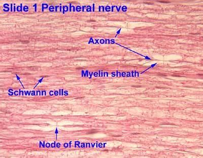 peripheral nerve cross section nerve cross section histology nervous system