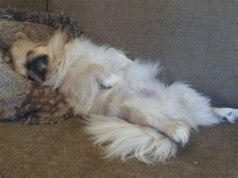 when do shih tzu stop growing haircuts for pekingese breeds picture