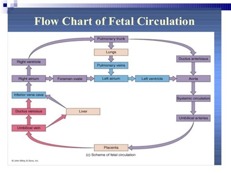 fetal circulation diagram fetalcirculation