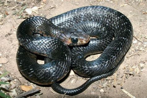 Lepaparazzi News Update Ricci And In Black Snake Moon by About Harmless To Humans Indigo Snake Protected