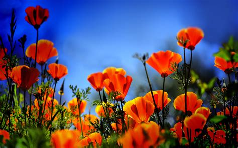 flowers images poppy flowers 14025 2560x1600 px hdwallsource com